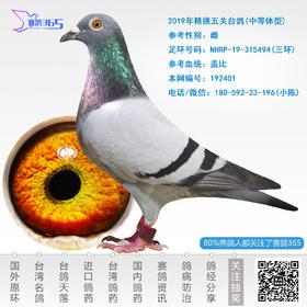 2019年精挑五关台鸽-雌-编号192401