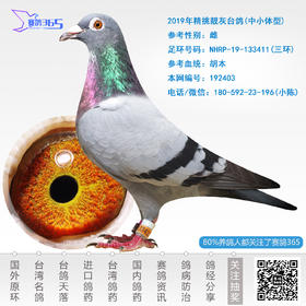 2019年精挑靓灰台鸽-雌-编号192403