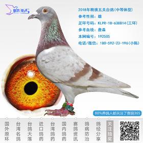 2018年精挑五关台鸽-雄-编号192505
