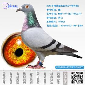 2019年精挑靓灰台鸽-雌-编号192406