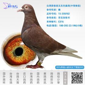 台湾薛德发五关归巢鸽-雌-编号C016