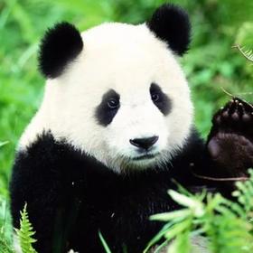 【四川】大熊猫保护科研公益营!给大熊猫做饭、打扫、做铲屎官!国际青少年志愿者计划,7岁起报,超稀缺冬令营!