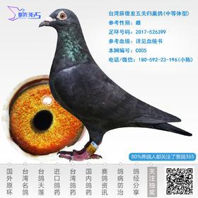 台湾薛德发五关归巢鸽-雌-编号C005