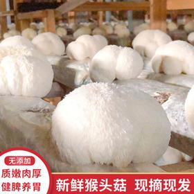 【精选】福建古田新鲜猴头菇|无添加 质娕肉厚 健脾养胃|2斤鲜猴头菇送鲜银耳1朵【水果蔬菜】