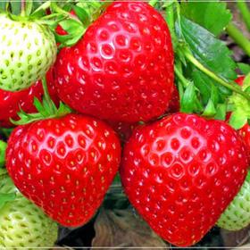 【精选】四川大凉山牛奶草莓|香甜可口 精挑细选 果香浓郁|3斤装单果重量20g每个【水果蔬菜】