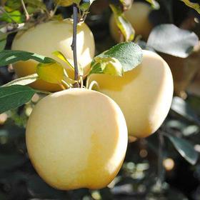 【精选】山东烟台黄金奶油富士苹果 | 脆甜多汁 皮薄肉厚 |5斤顺丰包邮【水果蔬菜】