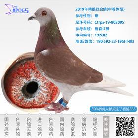 2019年精挑红台鸽-雄-编号192602