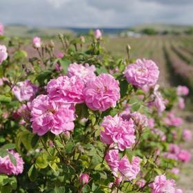 大马士革玫瑰原精 保加利亚 美の白淡纹 回春冻龄 幸福cui情 香气好闻
