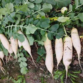骏瑞农业-本地萝卜5斤装(每人每天限购1份)骏瑞食品北联农场
