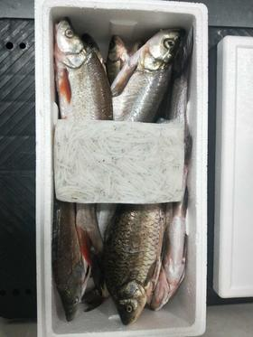 【安全配送】新鲜放养丨现捞现杀丨鱼套餐10斤(6斤白鱼·3斤杂鱼[小餐条·鲫鱼·小红尾]·1斤银鱼