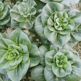 北联-大青菜  5斤装(每人每天限购5斤,次日发)