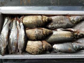 【安全配送】丹江口冰鲜鱼10斤装丨5斤翘嘴鲌+5斤[餐条、红尾、鲫鱼若干]