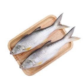 午笋鱼2条真空包装450~500克