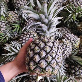 【助农产品】告急!徐闻菠萝疫情之下市场惨淡,勿让温厚的果农陷入绝境,助力销售19.8元/5斤 包邮