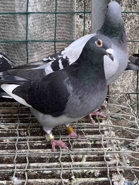 19年黑斑台鸽,母,编号562