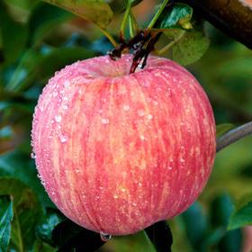山东 • 烟台红富士苹果 个大皮薄 脆甜爽口 果香浓郁 5斤/3斤装