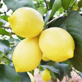 精选 | 四川安岳新鲜黄柠檬精品果大果 酸嫩多汁 可泡水制作冷菜