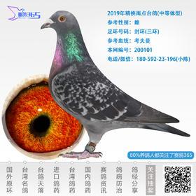 2019年精挑雨点台鸽-雌-编号200101