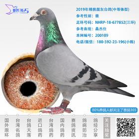 2019年精挑靓灰台鸽-雄-编号200109