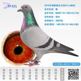 2019年精挑靓灰台鸽-雌-编号200102