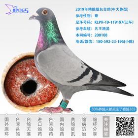 2019年精挑靓灰台鸽-雄-编号200108