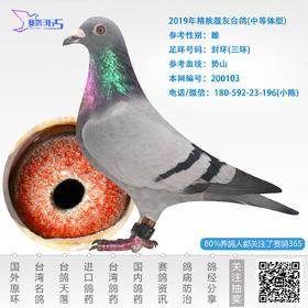 2019年精挑靓灰台鸽-雌-编号200103