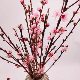 【云南】新鲜桃花枝带花苞 插水开花(桃之夭夭,灼灼其华)