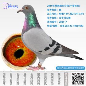 2019年精挑靓灰台鸽-雄-编号200117
