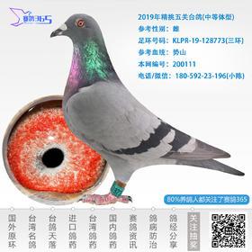 2019年精挑五关台鸽-雌-编号200111
