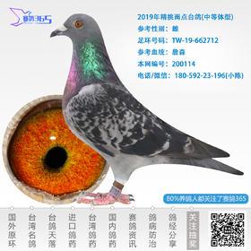 2019年精挑雨点台鸽-雌-编号200114