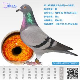 2019年精挑五关台鸽-雌-编号200116