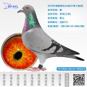 2019年精挑暗灰台鸽-雌-编号200115