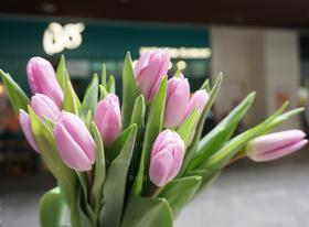 荷兰A级浅紫单瓣郁金香