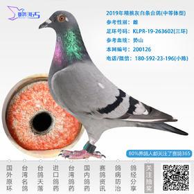 2019年精挑灰白条台鸽-雌-编号200126