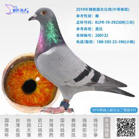 2019年精挑靓灰台鸽-雌-编号200132