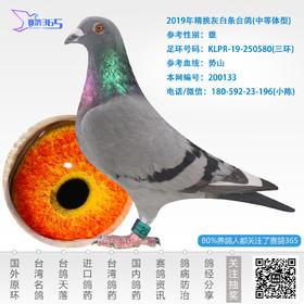 2019年精挑灰白条台鸽-雄-编号200133