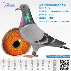 2019年精挑靓灰台鸽-雌-编号200131