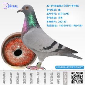 2018年精挑靓灰台鸽-雌-编号200129