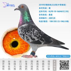 2019年精挑雨点台鸽-雄-编号200128