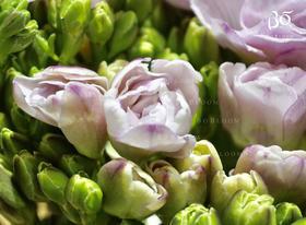 荷兰A+级重瓣粉紫色香雪兰-Honeymoon