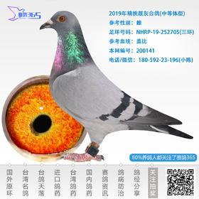 2019年精挑靓灰台鸽-雌-编号200141