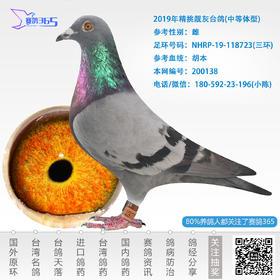2019年精挑靓灰台鸽-雌-编号200138