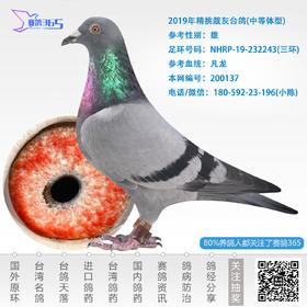 2019年精挑靓灰台鸽-雄-编号200137