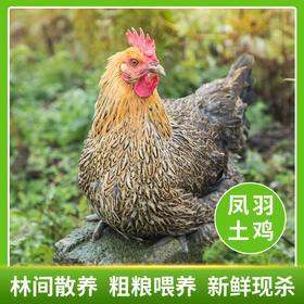 【全国包邮】凤羽土鸡(母鸡)  2.5-3.3斤/只