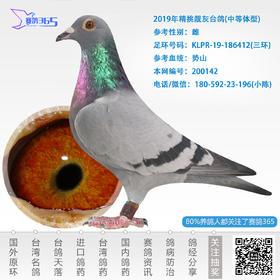 2019年精挑靓灰台鸽-雌-编号200142