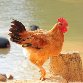 【龙门秘境】--金竹神鸡