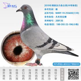 2019年精挑灰白条台鸽-雌-编号200136