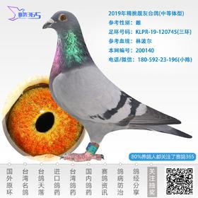 2019年精挑靓灰台鸽-雌-编号200140