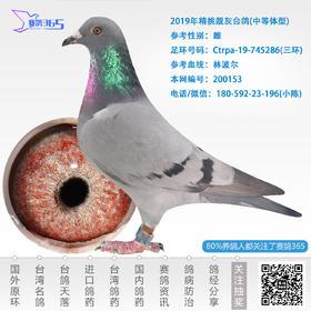 2019年精挑靓灰台鸽-雌-编号200153