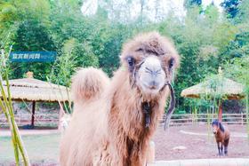 38元抢宜宾野生动物世界门票!鸵鸟、羊驼超多动物,还有玻璃桥、超长滑草……